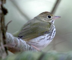 Ovenbird (c) Tom Murray