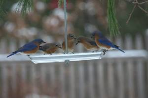 Bluebirds-Mary Bacon Adams Athol  CBC 12-14-2013