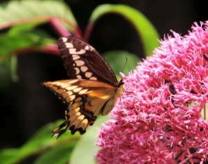 4170 – Papilio cresphontes Giant Swallowtail August 16 2014 Athol ma