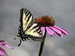Tiger Swallowtail July 21-2014 DHS