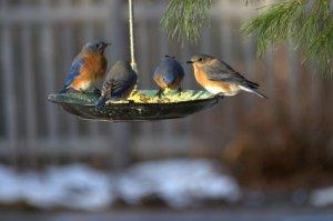 Bluebirds Athol CBC 12-20-2014 Mary Adams (1)