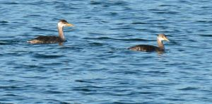 Red-necked Grebes - Quabbin Gate 35 Dale Monette Athol CBC 12-20-2014