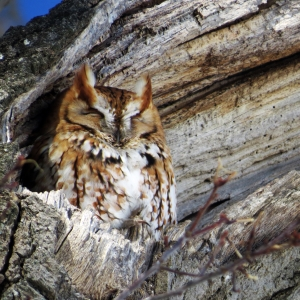 Eastern Screech Owl Crystal Lake Cemetary Gardner Ma March 9 2015 (6)
