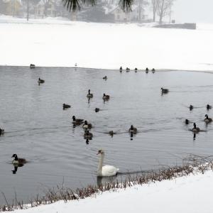 Mute Swan Mallard Canada Geese Turners Falls Ma 3-20-2015 (1)