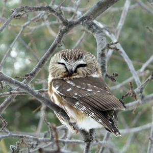 Northern Saw Whet Owl Brooks Road Athol February 21 2015 small (1)